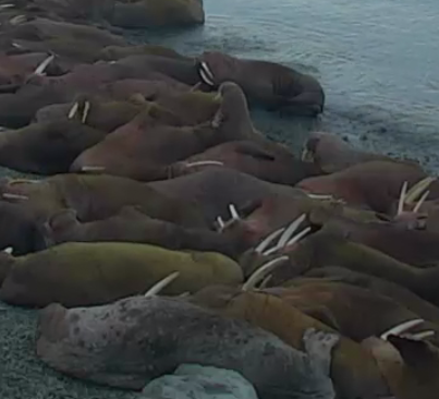 ATTENTION, IMPORTANT NEWS: LOOK AT THIS WALRUS CAM!